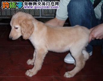 哪里有卖阿富汗猎犬的哪里可以买到阿富汗猎犬的