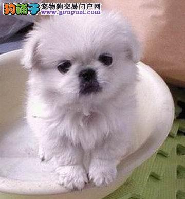 专业繁殖高品质 北京犬京巴 保纯种 健康 协议质保