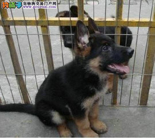 纯种狼狗出售 品质佳纯种健康 可签署质保协议