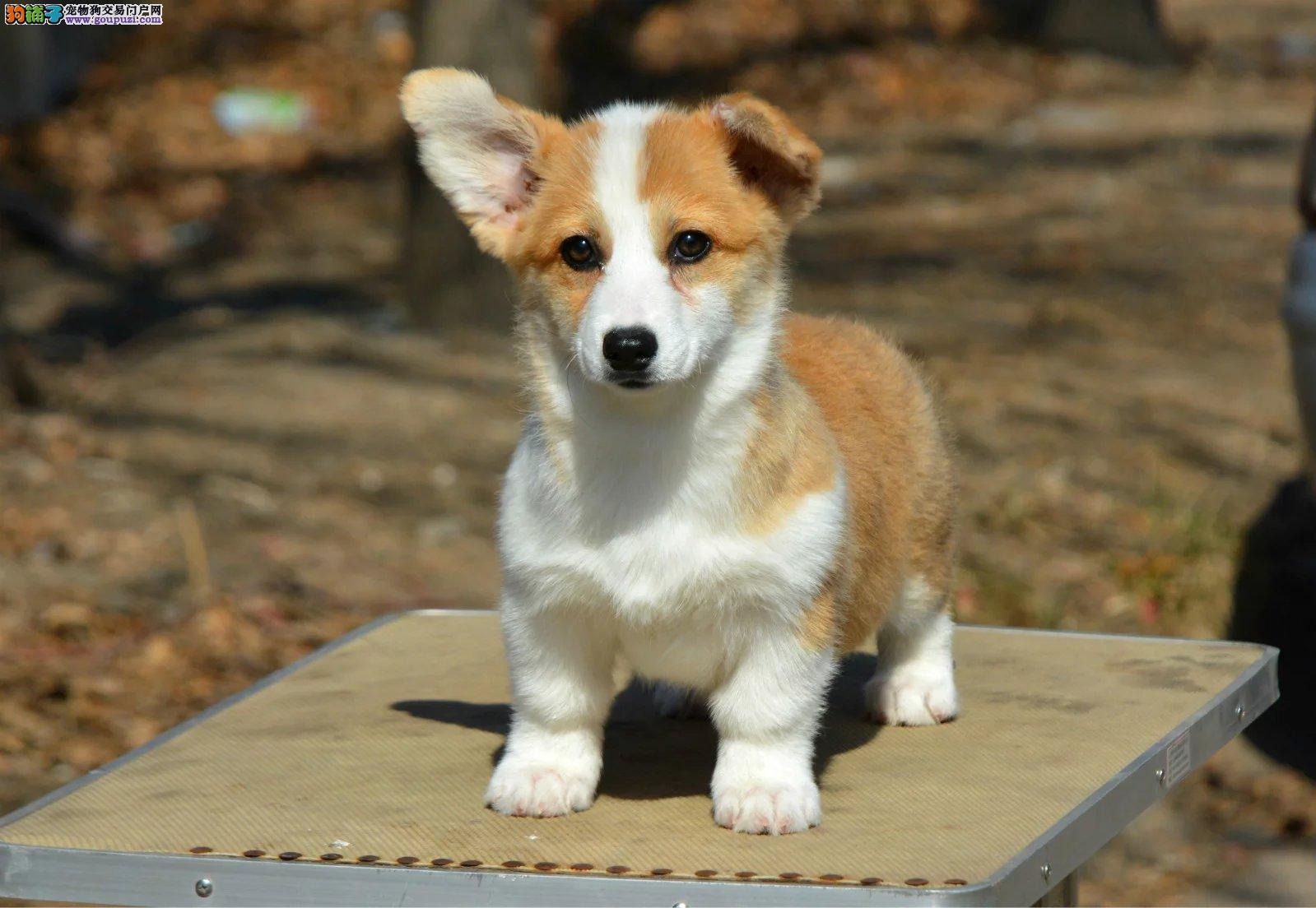 柯基犬幼犬出售、纯种威尔士柯基犬