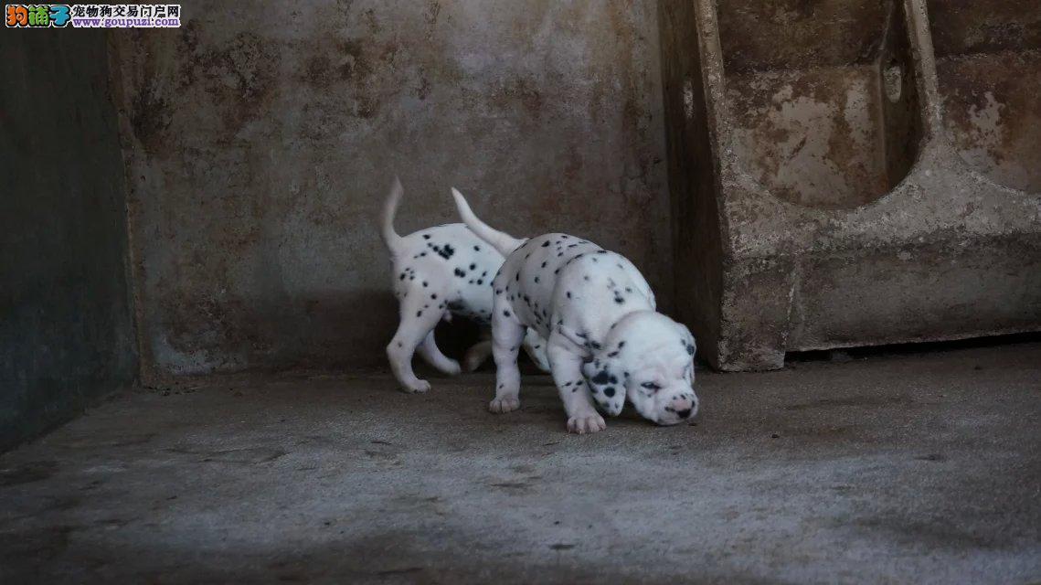 纯种犬繁殖基地出售顶级精品大麦町幼犬