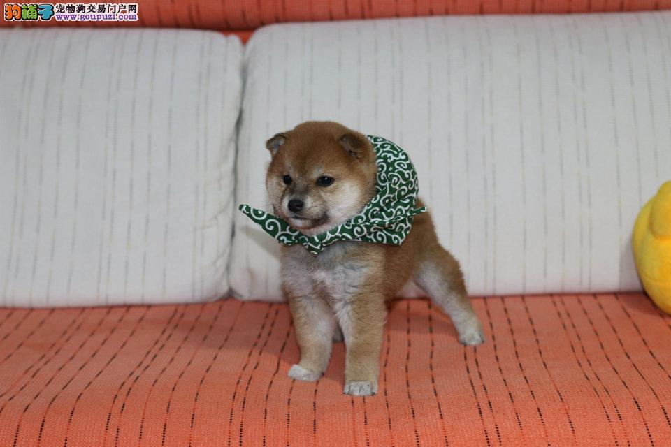 柴犬幼犬,保纯种,保健康,可以送货