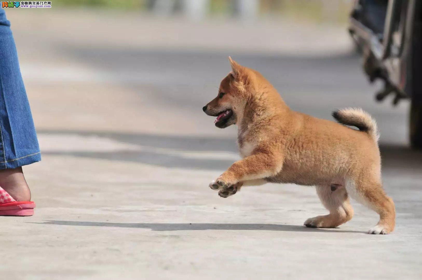 犬舍常年出售纯种健康的柴犬 可以视频