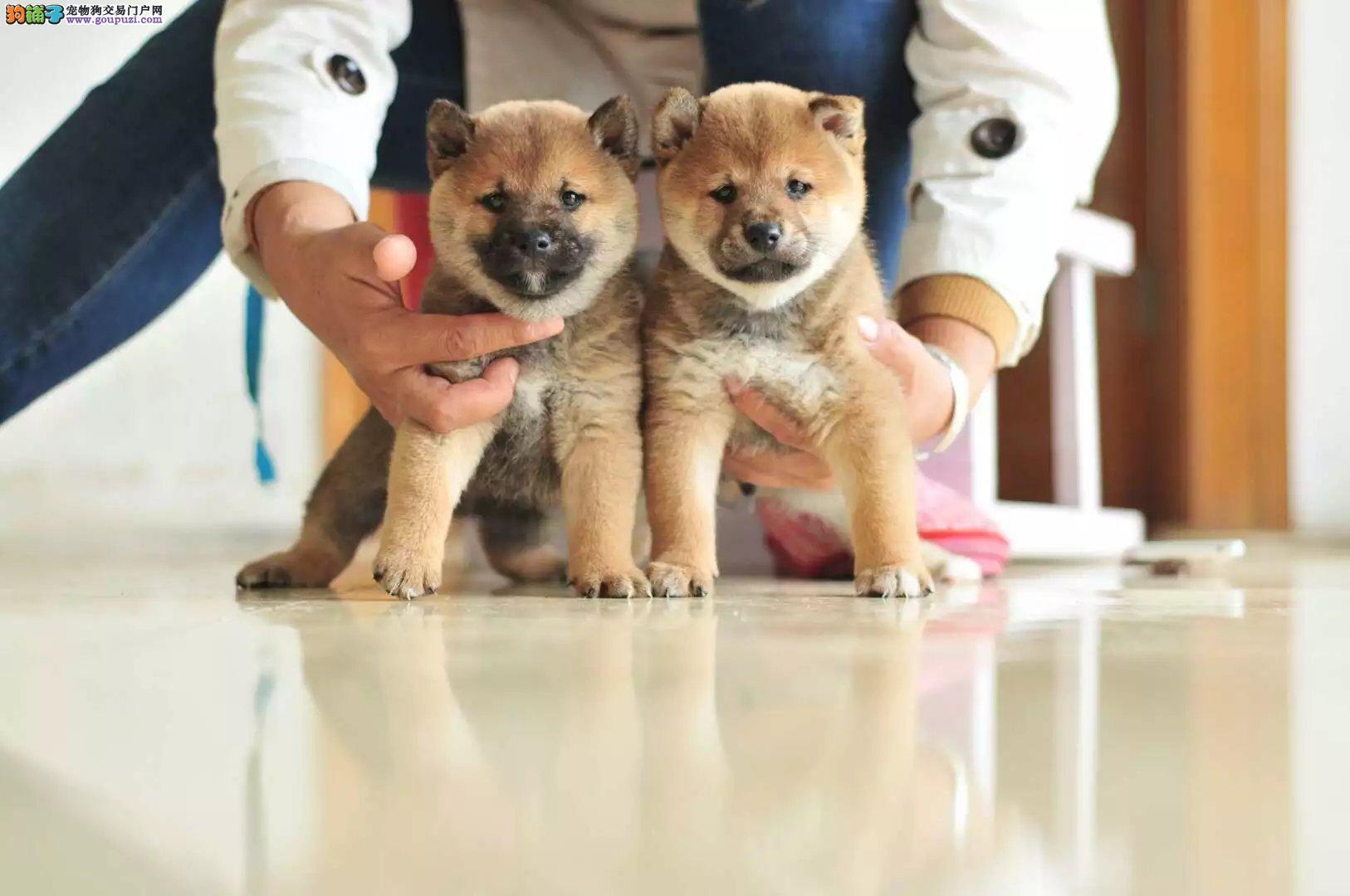 柴犬 正宗日系柴犬 赤色 铁包金均有