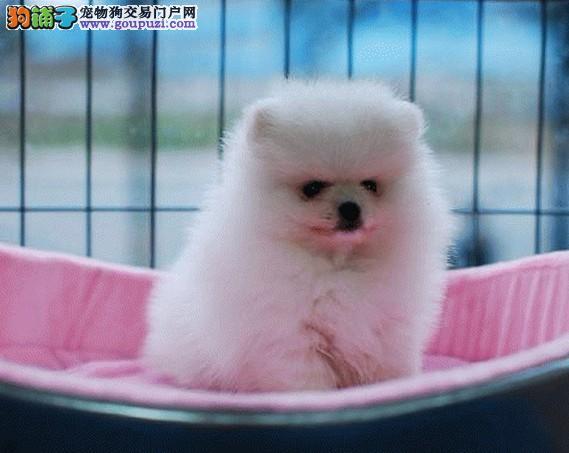纯种博美幼犬 哈多利版博美幼犬 签合同终身质保