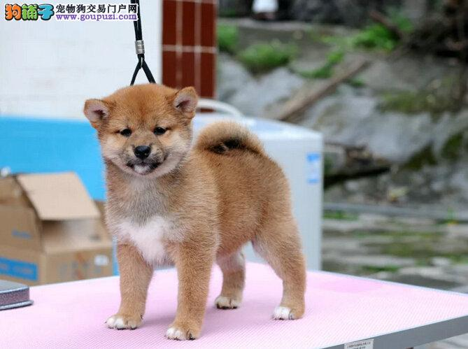 可爱柴柴纯种柴犬柴犬出售