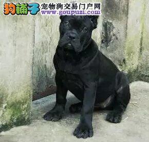 CKU犬舍认证出售高品质北京比特犬质保协议疫苗驱虫齐全
