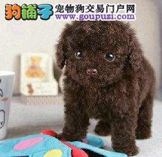 新世纪宠物出售超萌泰迪幼犬,多价位,多品相协议质保