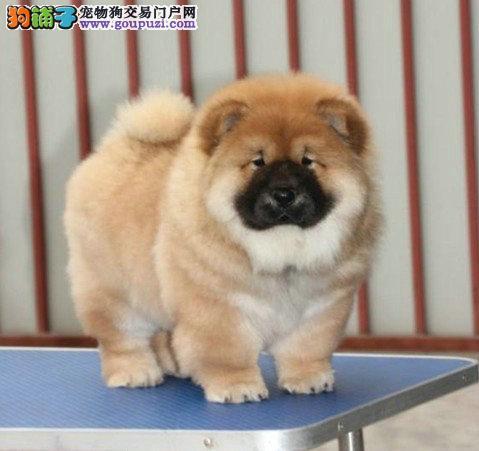 本月爆卖 极品肉嘴黄讼师犬 支持空运 支持上门看狗