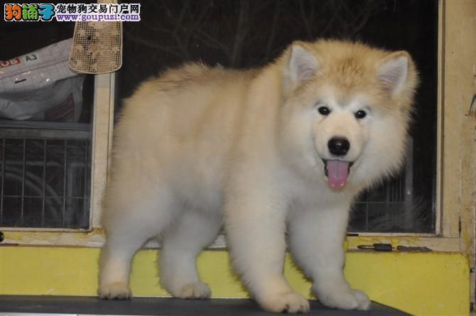 正规养殖场繁殖纯种阿拉斯加雪橇犬已打疫苗和驱虫