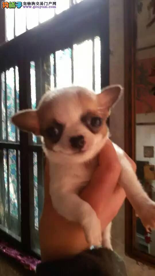 出售小体型吉娃娃宝宝保证纯种健康 爱狗人士上门选购