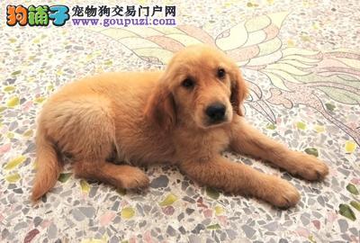 美系大头大脑宽嘴带血统的金毛幼犬出售,保健康品质