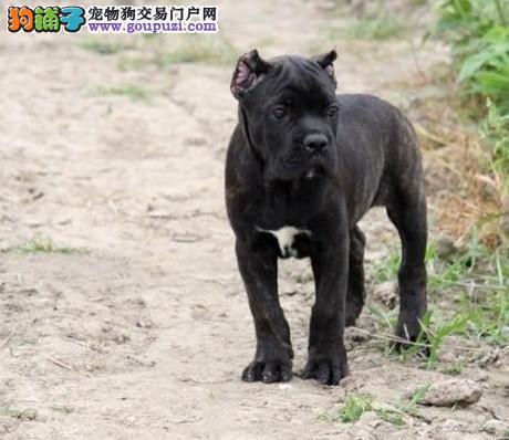 出售卡斯罗犬 大头骨量足 疫苗齐全 支持上门看狗