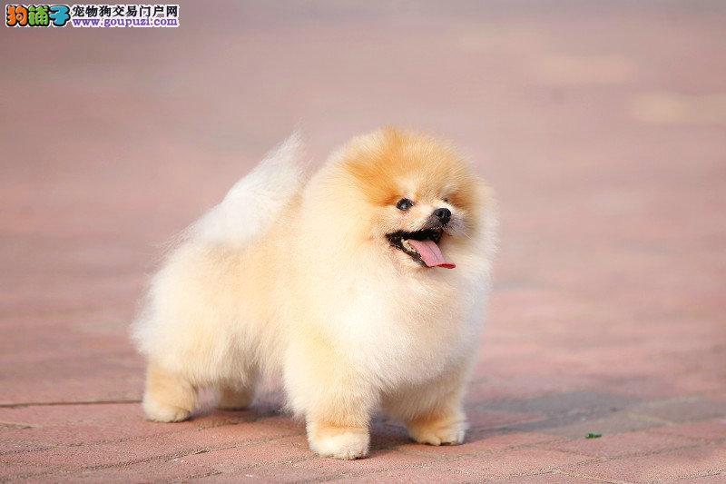 买哈多利版球型博美幼犬 可爱至极 纯正血统完善服务