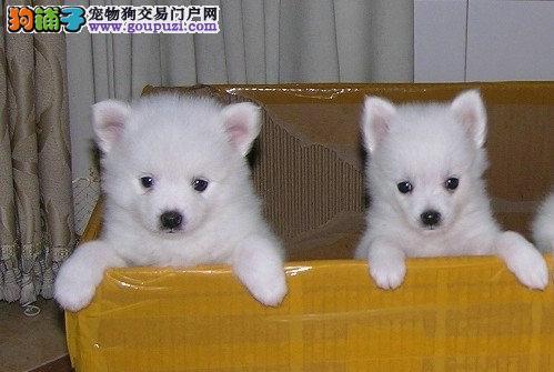 出售纯种可爱日本尖嘴银狐 育苗驱虫做好 放心购买