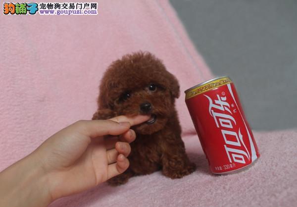 出售高品质茶杯犬有茶杯型有红色