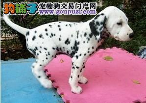 正规繁殖犬舍 出售高品质班点幼犬 健康质保签署协