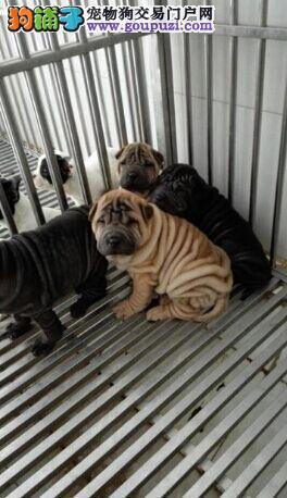 听说你想养一只健康的沙皮犬 我来给您推荐