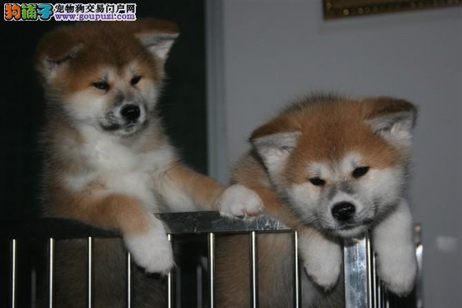 出售秋田 纯种日系秋田犬 最忠诚的八公