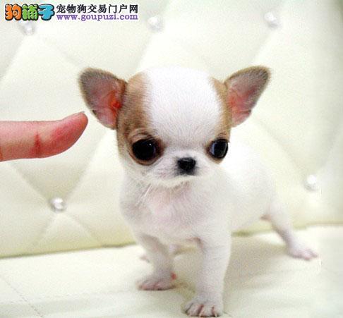 自家繁殖销售吉娃娃犬活泼聪明多只可选包纯种