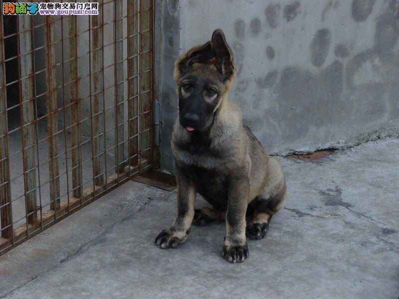 出售纯种昆明犬健康质保喜欢的速联