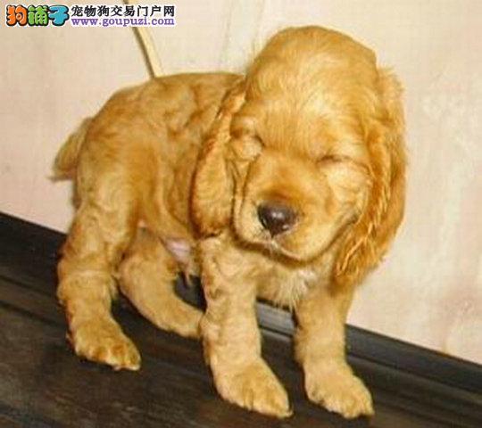 出售纯种可卡幼犬宝宝 可爱健康 质量保证 欢迎选购