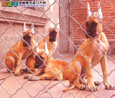 纯种大丹犬哪里有出售 大丹犬价格 大丹犬犬舍