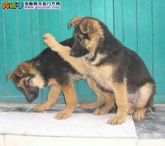 大骨架毛量足帅气威武德牧疫苗驱虫已做 德牧幼犬