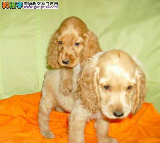 出售英国可卡幼犬 健康质保 公母都很活泼