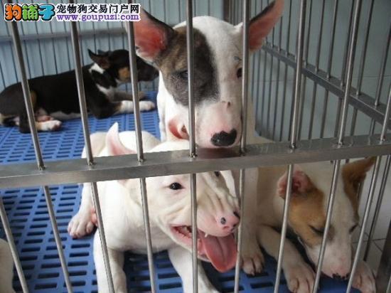 专业繁殖牛头梗幼犬,海盗眼牛头梗高品质纯血统保健康