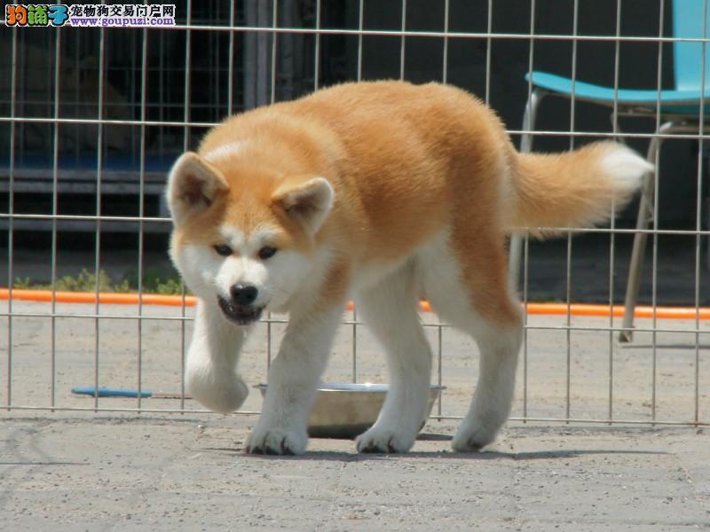 纯种稀有的秋田犬,品相好,保健康,是身份品味的象征