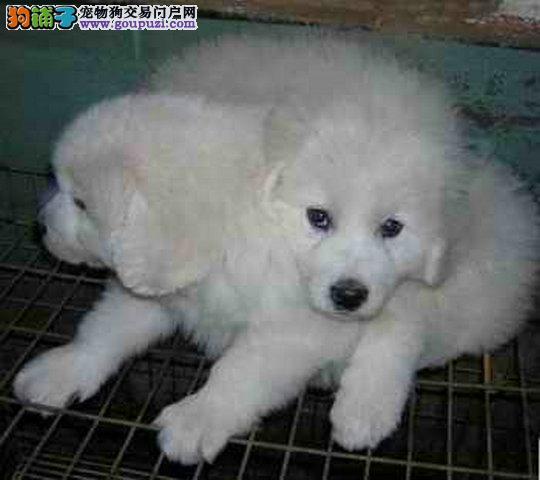 纯种大白熊幼犬出售,健壮大骨架品相好,保证纯种健康