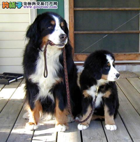 体型高大性格温顺忠实伴侣犬伯恩山幼犬宝宝品相好