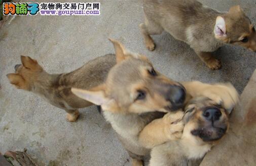 昆明犬哪里有出售 纯种昆明犬多少钱一只 昆明犬犬舍
