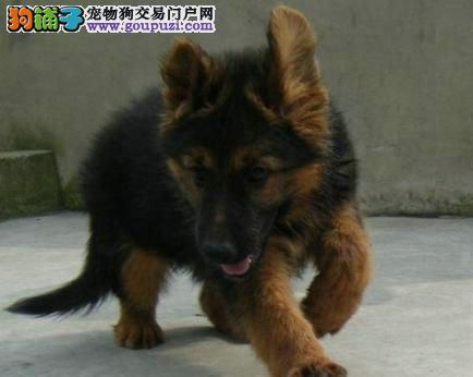 出售纯种狼狗 大型犬 看家护院的好帮手
