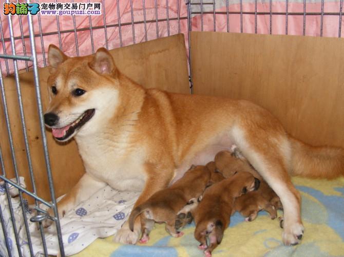 纯种柴犬繁殖的小柴狗哦,公母都有上门多只可选的