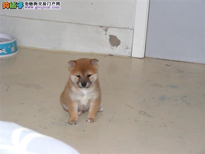 出售纯种宠物级柴犬幼犬 火爆销售中 快来选购吧