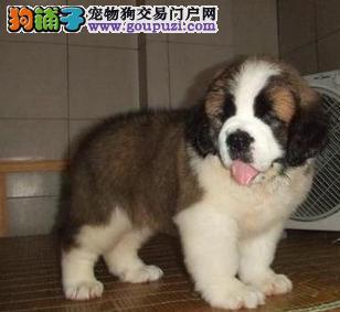 超漂亮的圣伯纳幼犬 100%纯种好品相 火热销售