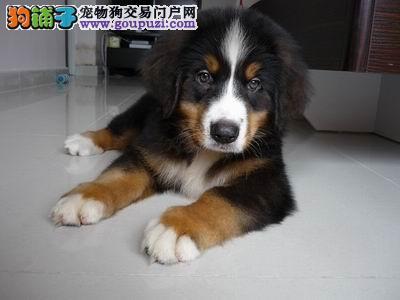 纯血统伯恩山幼犬、金牌店铺假一赔十、购买保障售后