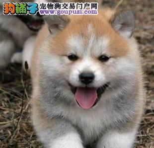 低价转让秋田幼犬 疫苗驱虫已做 包纯种健康