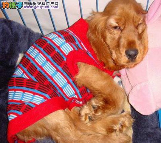 出售纯种健康可卡犬幼犬 公母均有可上门看狗