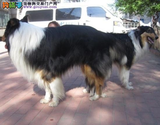 聪明活泼首选苏牧幼犬 常年有货品相极佳毛色