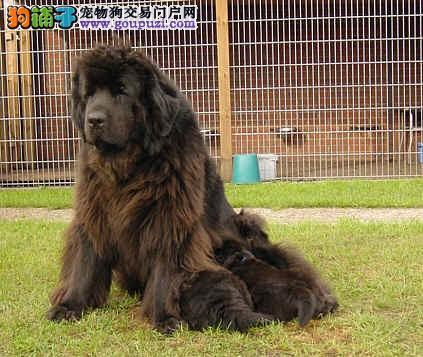 纯种纽芬兰犬哪里有出售 纽芬兰犬多少钱一只