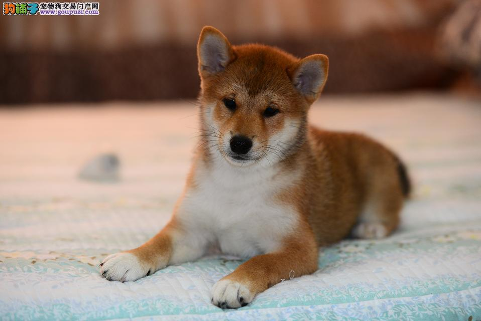 柴犬犬舍出售顶级日系纯种柴犬幼犬保纯种可视频对