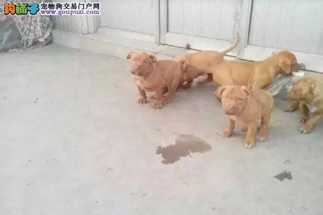 出售纯种比特犬,兴奋度高,打架首选 包健康