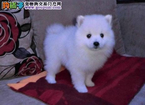纯种的日本尖嘴犬(银狐犬)出售 公母都有包健康