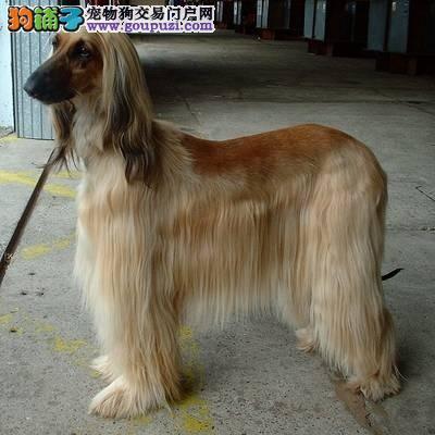 哪里有阿富汗猎犬出售 纯种阿富汗猎犬多少钱一只