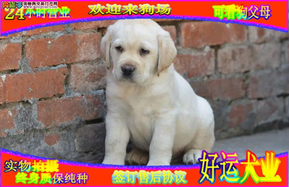 拉布拉多犬  正规犬舍繁殖  赛级宠物级拉拉