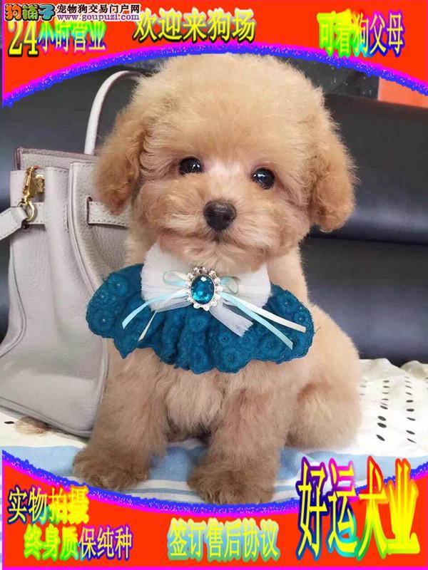 泰迪犬,自己犬舍繁殖,玩具泰迪,茶杯泰迪犬