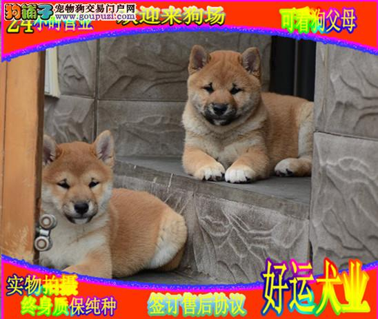日系柴犬 签署协议 保纯度 保健康 欢迎选购